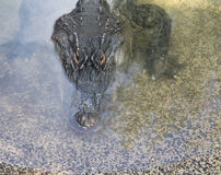 Alligator portrait Royalty Free Stock Photo