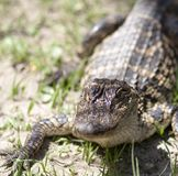 Toothy Grin in Sharp Focus. Alligator posing for the camera. Face in sharp focus, with the body and the sandy grassy background blurring as it recedes from the royalty free stock photo