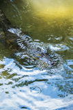 Alligator posing close-up. This alligator looks like he's posing and checking you out Royalty Free Stock Images