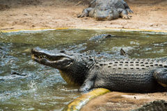 Alligator posing. This alligator looks like he's posing and showing some teeth Royalty Free Stock Image