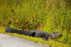 Alligator près de route Image stock