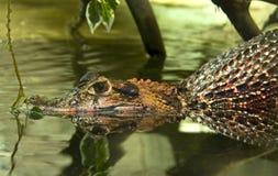 Alligator. Predator reptile crocodilе cayman Stock Photo