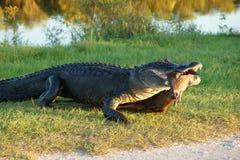 Alligator with prey animal Royalty Free Stock Image