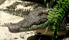 Alligator profile Royalty Free Stock Images