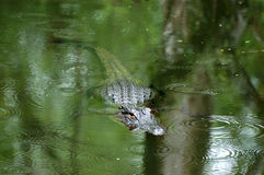Alligator on the Prowl Royalty Free Stock Image