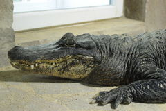 Alligator. The alligator relax in terrarium Royalty Free Stock Photo