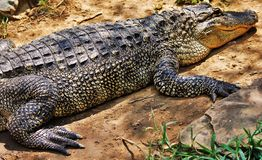 Alligator relaxing. Alligator is relaxing during a sunny day stock photography