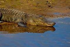 Alligator Relaxing On The Bank Of A Lake  Stock Images