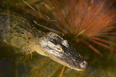 Alligator relaxing in water Stock Photos