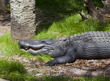 Alligator Resting. One lone alligator (American alligator) at rest in the sun Royalty Free Stock Photos