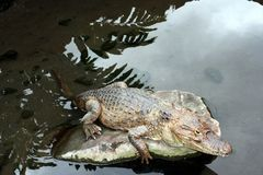 Alligator resting in a rock stock images