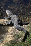 Alligator Resting Ashore and Water Stock Photography