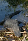 Alligator resting on bank. Alligator (Alligator mississippiensis), Everglades NP royalty free stock photography