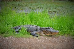 Alligator resting upon grass near pond Royalty Free Stock Image