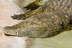The alligator resting in the hot sun. During the day Royalty Free Stock Photos
