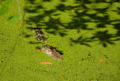 Alligator resting in the lake. Alligator camouflaged in the lake Stock Photo