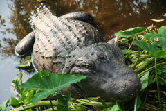 Alligator resting on shore of pond Stock Photo
