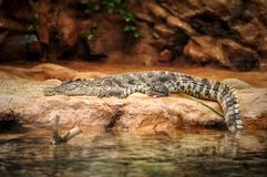 Alligator resting on the stone in aquarium park. Dangerous reptiles Royalty Free Stock Images