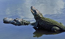 Alligators. An alligator rides on its friend's back Royalty Free Stock Images