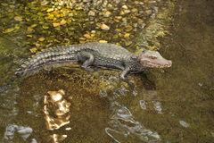 Alligator in river. Alligator along the shore of a river Royalty Free Stock Images