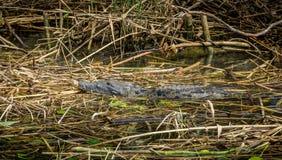 Alligator in River Stock Image