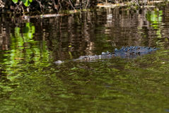 Alligator in the river Stock Photo