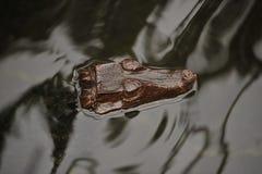 Alligator in rivier stock afbeeldingen