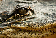 An Alligator's Face Stock Photo