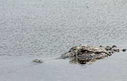Alligator's head in water Royalty Free Stock Photo