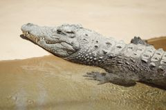Alligator on sand Royalty Free Stock Photos