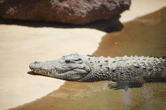 Alligator on sand Royalty Free Stock Images