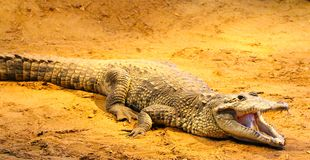 Alligator On Sand. Photo was taken Dec 2014, Alligator Bathing underneath heat with mouth open Stock Photography