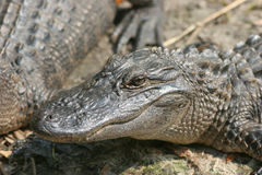 Alligator sauvage image libre de droits