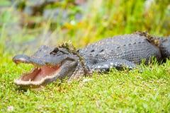 Alligator sauvage après l'émergence de l'étang par des marais de la Floride Photos libres de droits