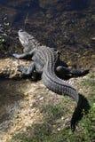 Alligator se reposant à terre et eau Photographie stock