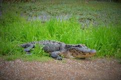 Alligator se reposant sur l'herbe près de l'étang Image libre de droits