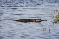 Alligator se reposant sur la rivière Rivière de Myakka Images stock
