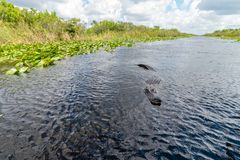 Alligator seen from airboat in Everglades national park, Florida, United States of America royalty free stock photography