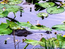Alligator setting up an ambush in the lilly pads royalty free stock photos