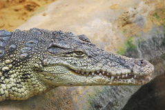 Alligator in the shore. Close-up of the head of an alligator in a shore Royalty Free Stock Image