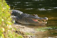 Alligator laying near a pond with its mouth open. Alligator on the shore of the lake lies near the water with an open mouth in a natural habitat. Alligator Stock Images
