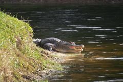 Alligator laying near a pond with its mouth open. Alligator on the shore of the lake lies near the water with an open mouth in a natural habitat. Alligator Royalty Free Stock Photo