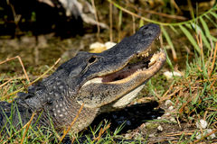 Alligator showing its teeth as it crawls onto land in Florida. Royalty Free Stock Photo