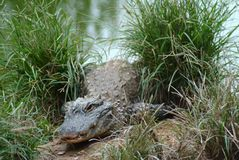 Alligator sinensis Stock Photos