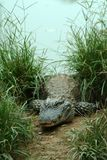 Alligator sinensis Royalty Free Stock Photo