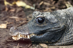 Alligator sinensis or Chinese alligator Royalty Free Stock Photography