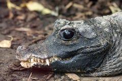 Alligator sinensis or Chinese alligator. Shot up close Royalty Free Stock Photography