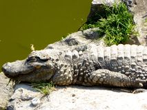 A Alligator sinensis lying on a rock. Near the lake at Shanghai wild animal park Royalty Free Stock Photos