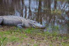 Alligator sitting on the grass. Royalty Free Stock Image