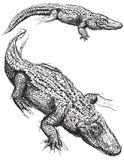 Alligator sketches. Sketchy, hand drawn Florida alligators royalty free illustration